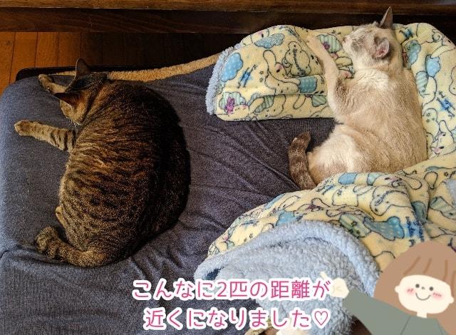 電気毛布のおかげで猫たちの距離が近くなった